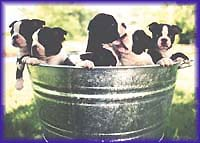 Bucket of Gunnar pups